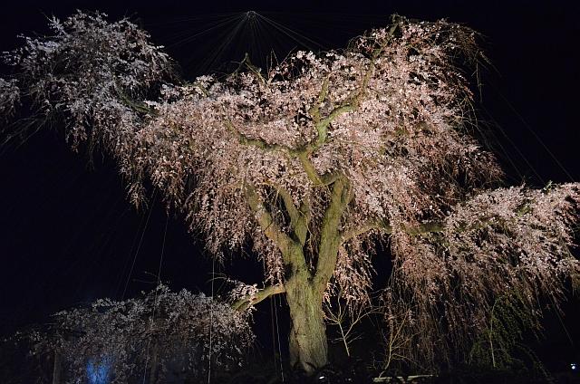 2012_京都_円山公園_夜桜03