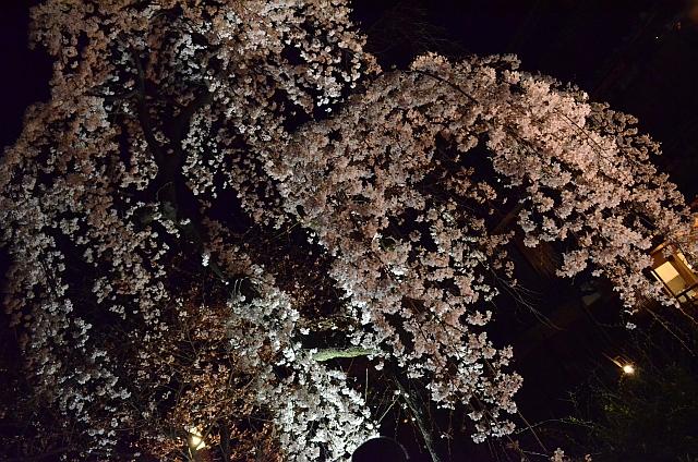 祇園_白川南通_夜桜04