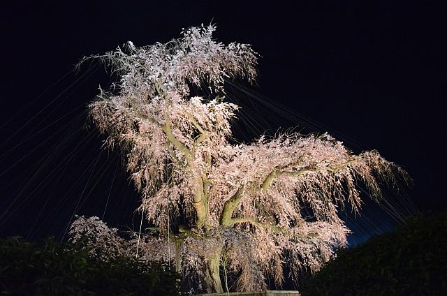 2012_京都_円山公園_夜桜02