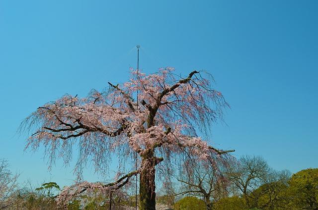 2012_京都_円山公園_桜_花見