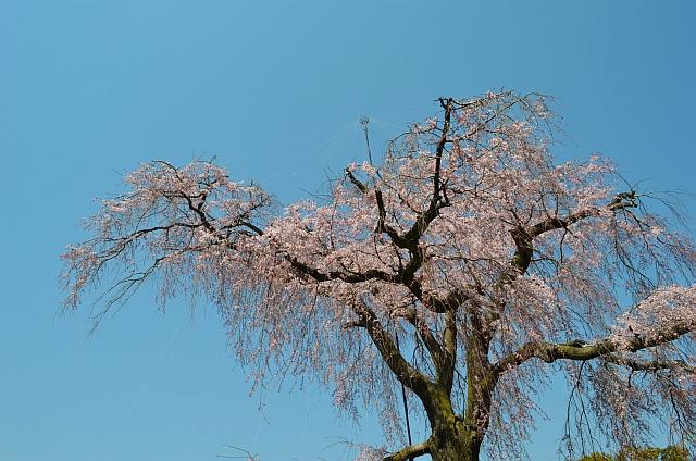 京都、祇園枝垂桜「円山公園」