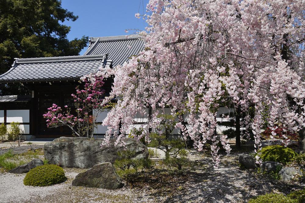 京都の春 桜の写真